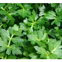 Outback Pride Sea Parsley/Celery  - 100g